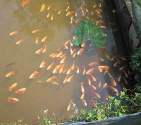 """ORNAMENTAL FISH FARMING"""